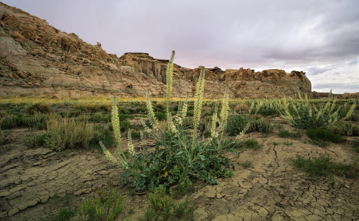 Flowers of Painted Desert